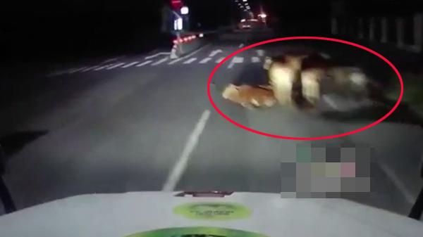 Clip: Tài xế container đánh lái tránh đàn bò nằm giữa đường suýt gây tai nạn