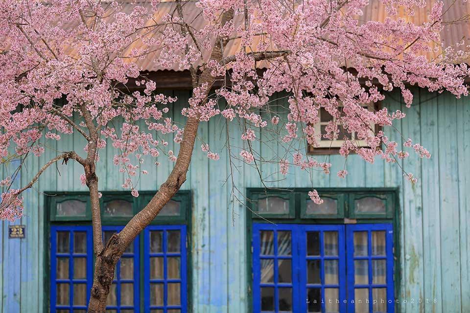 Những ngày tháng 1 này, hoa mai anh đào đã bắt đầu nở rộ khắp thành phố Đà Lạt. Từ những con phố trung tâm đến những khắp ngọn đồi này, trải về thung lũng kia đều ngập sắc hoa hồng thắm.