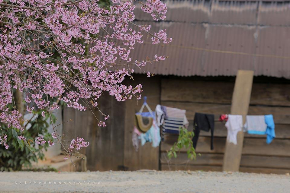 """Với chàng trai đã hơn 20 năm gắn bó với cao nguyên Lâm Viên này, anh gọi mùa mai anh đào là """"mùa yêu dấu trên cao nguyên""""."""