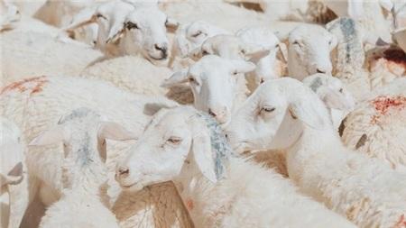 Những chú cừu ở đây lúc nào lông cũng vàng vì nắng gió. Hàng ngày, cừu được lùa ra khu vực đồng rộng, nhẩn nhơ gặm cỏ đến chiều mới lùa về chuồng.