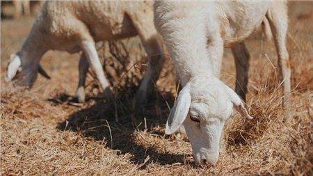 Rất nhiều bạn trẻ thành thị đã không giấu nỗi sự hào hứng khi lần đầu tiên được nhìn thấy cừu.