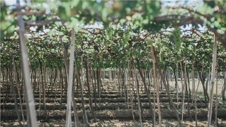 Vì khí hậu nắng nóng, khô cằn, nên nho phát triển rất tốt ở Ninh Thuận.