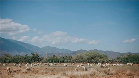 Chỉ có những chú cừu là thảnh thơi dưới tiết trời này.