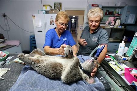 Giám đốc bệnh viện Cheyne Flanagan (trái) và tình nguyện viên Barbara Barrett đang điều trị cho 1 chú gấu koala bị bỏng tại Bệnh viện Port Macquarie Koala