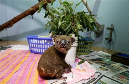 Trong đợi cháy rừng diện rộng tại xứ sở chuột túi, Koala là loại động vật phải bị ảnh hưởng nặng nề nhất do di chuyển chậm chạp