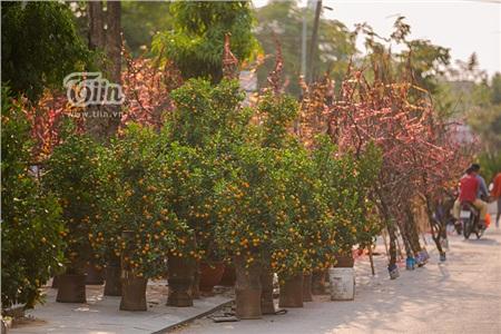Hoa đào, mai, quất đua sắc khắp phố phường Hà Nội, 'Tết tết tết tết đến rồi!' 0