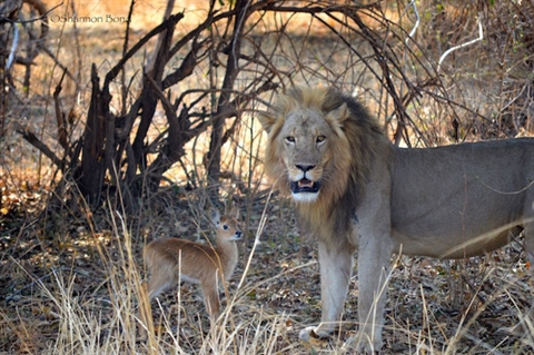 Suốt 30 phút đầu tiên, sư tử rất thân thiện với con mồi của mình