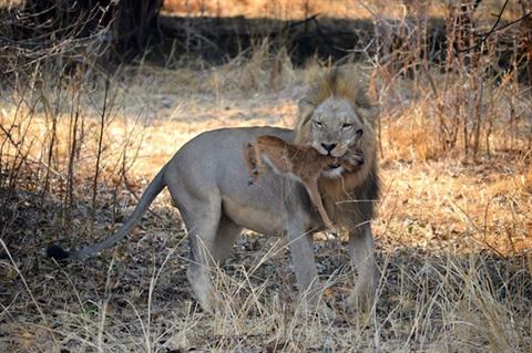 Bản năng trỗi dậy, sư tử đã giết chết con mồi của mình