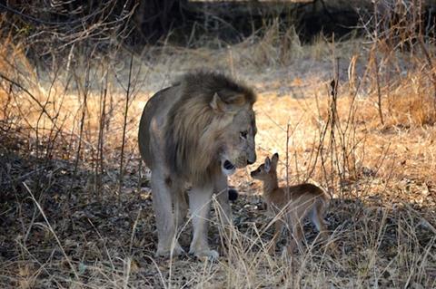 Linh dương con lạc mẹ rơi vào tay sư tử đực