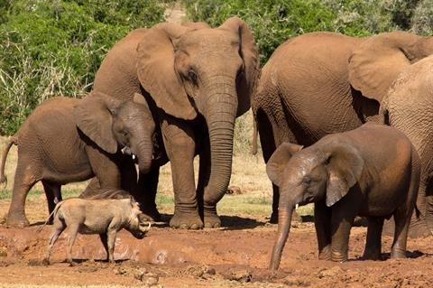 Lợn rừng một mình đứng giữa bầy voi khi tranh giành vũng nước