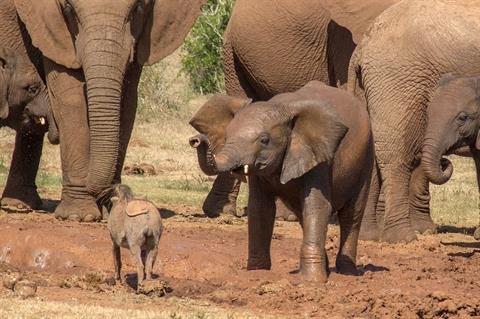 Lợn rừng chiến voi: Kết bất ngờ cho kẻ 'bất cần đời' 1