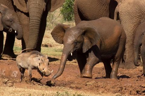 Lợn rừng chiến voi: Kết bất ngờ cho kẻ 'bất cần đời' 2