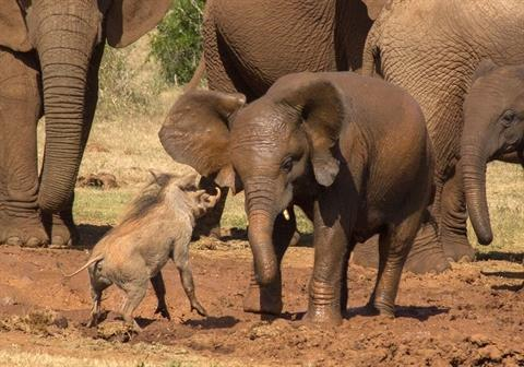 Lợn rừng chiến voi: Kết bất ngờ cho kẻ 'bất cần đời' 3