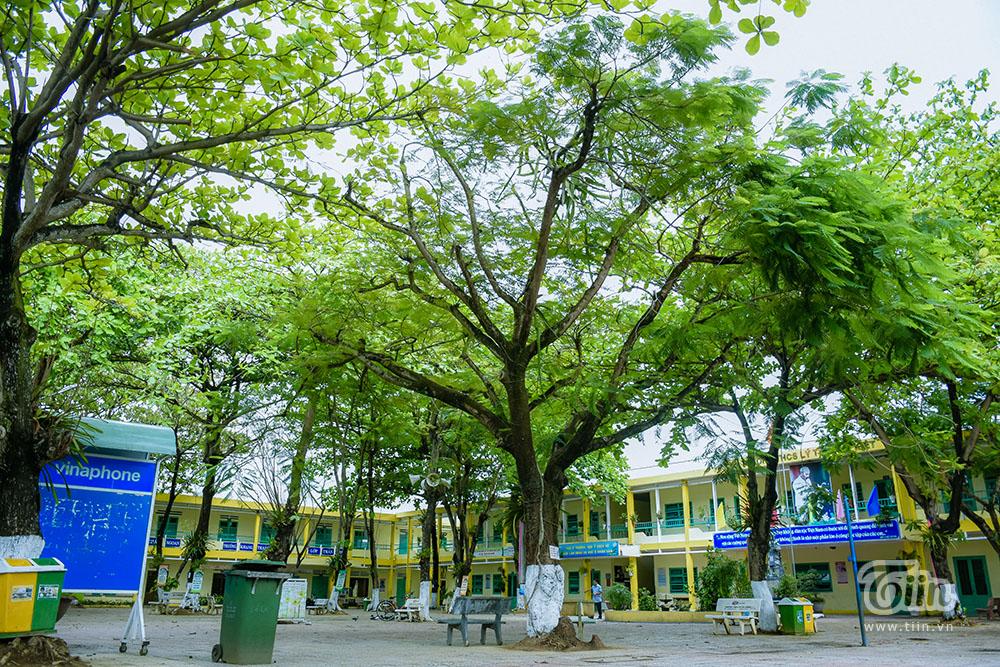 Việc trồng phối hợp hai loại cây cũng được một số trường áp dụng tăng giá trị thẩm mỹ và không gian xanh trong học đường.