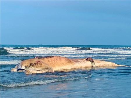Con cá voi này dài khoảng 12m, nặng hơn 10 tấn. Cá voi đã chết khoảng 1 tuần trước và đang trong giai đoạn phân hủy mạnh, bốc mùi hôi thối.