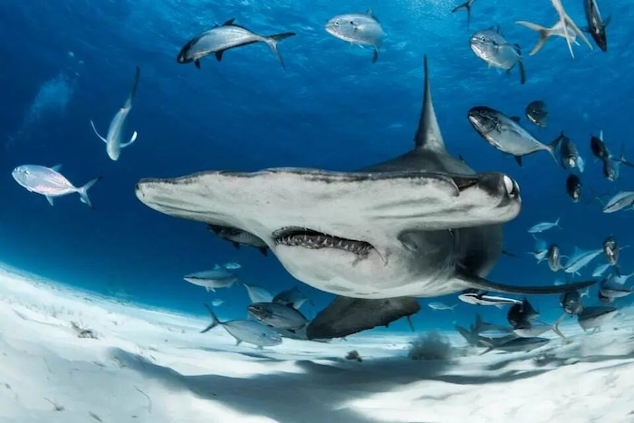'Sởn tóc gáy' cảnh thợ lặn dùng máu tươi dẫn dụ cá mập đầu búa 1