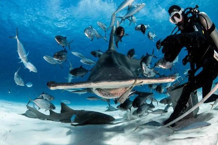'Sởn tóc gáy' cảnh thợ lặn dùng máu tươi dẫn dụ cá mập đầu búa 2