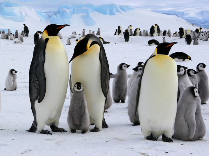 Chim cánh cụt ở Nam Cực sản xuất hàm lượng oxit nitric rất cao ở nơi chúng cư ngụ.