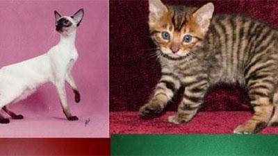 Những loài mèo 'đẹp lạ' trên thế giới