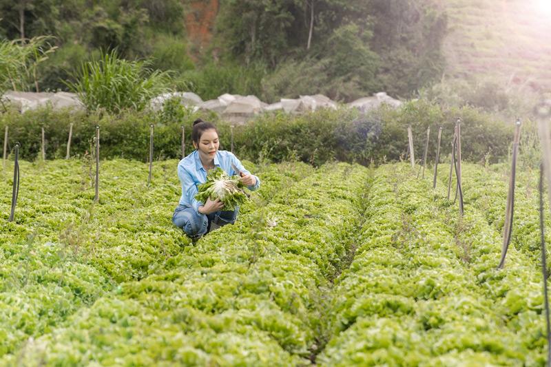 Bên cạnh đó, cô cũngxuống vườn cắt rau xà lách.